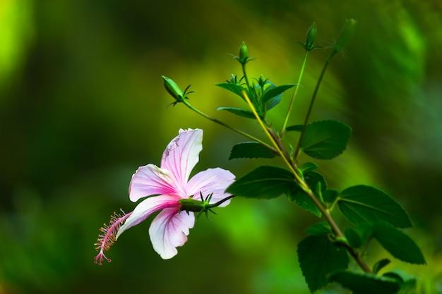 Flor de hibisco em plena floração durante a primavera