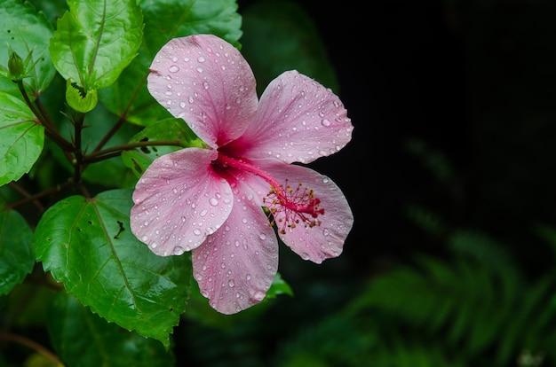 Flor de hibisco no jardim com gotas de água. detalhe do estame e pistilo