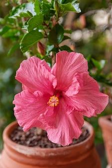 Flor de hibisco rosa florescendo