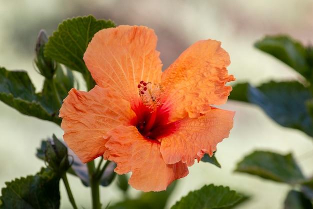 Flor de hibisco tangerina