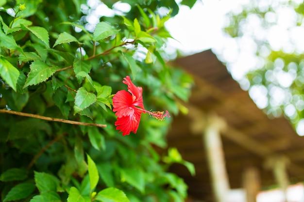 Flor de hibisco tropical vermelho em um jardim verde