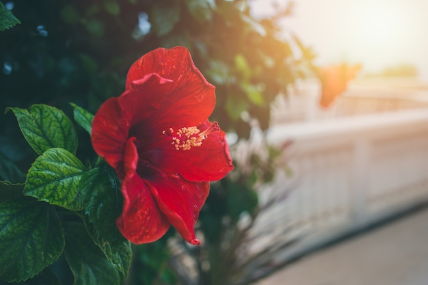 Flor de hibisco vermelho com luz do sol da manhã com espaço para texto