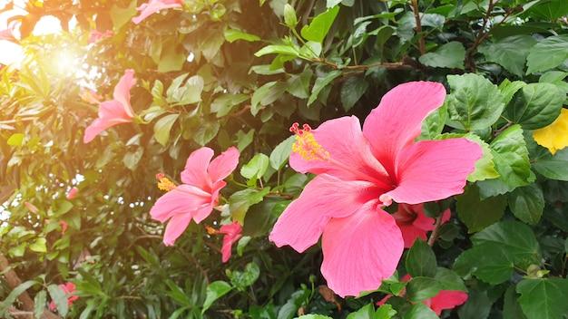 Flor de hibisco vermelho e folha verde no jardim natural