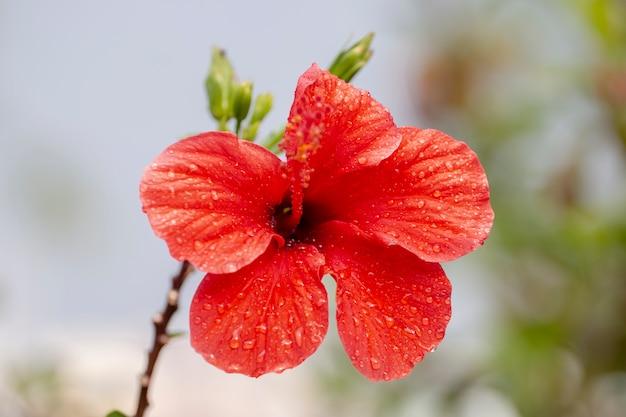 Flor de hibisco vermelho lindo