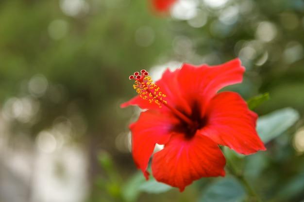 Flor de hibisco vermelho no jardim tropical