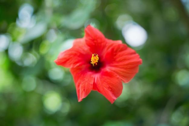 Flor de hibisco vermelho