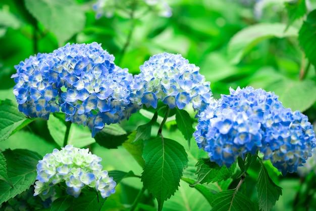 Flor de hortênsia azul no japão