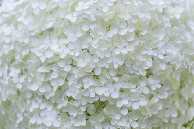 Flor de hortênsia branca (hortensia) em um jardim