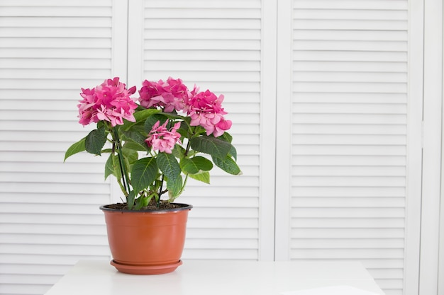 Flor de hortênsia no vaso sobre persianas brancas
