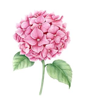 Flor de hortênsia rosa com folhas verdes ilustração em aquarela