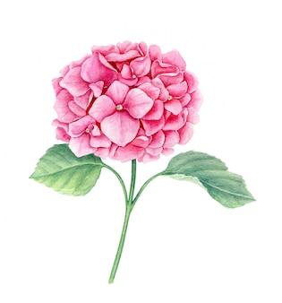 Flor de hortênsia rosa com folhas verdes, isoladas, ilustração aquarela