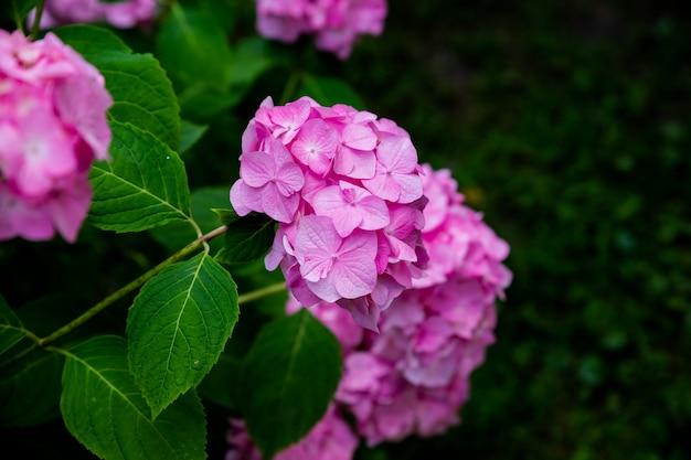 Flor de hortênsia rosa, folhas verdes e botões