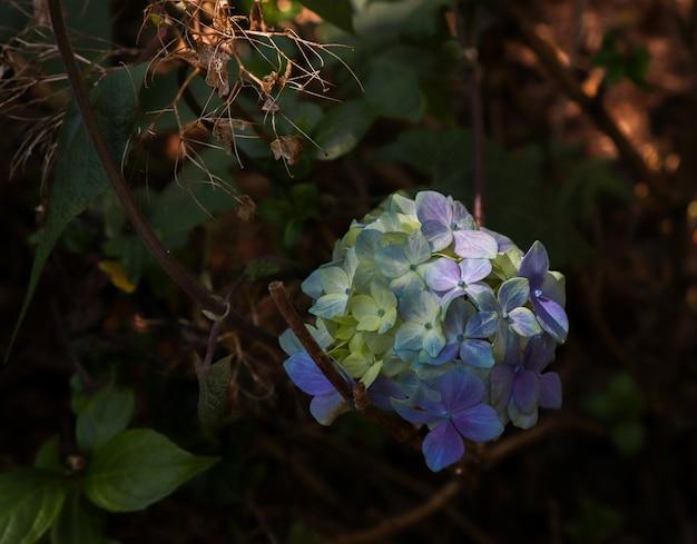Flor de hortênsias (hortãƒâªnsia) - roxa, branca e verde. sob um feixe de luz solar e vegetação ao fundo.