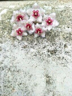 Flor de hoya (caudata) no fundo do muro de cimento e espaço livre para o texto.