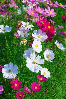 Flor de inverno e flor de cosmos
