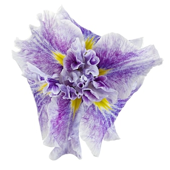 Flor de íris isolada em um fundo branco.
