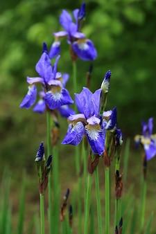 Flor de íris no jardim dia de verão