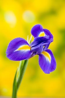Flor de íris roxa sobre o fundo amarelo.