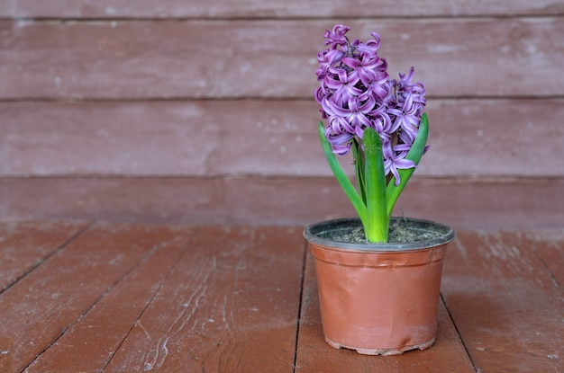 Flor de jacinto em um vaso