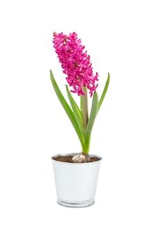 Flor de jacinto magenta em uma panela de lata isolada com fundo branco