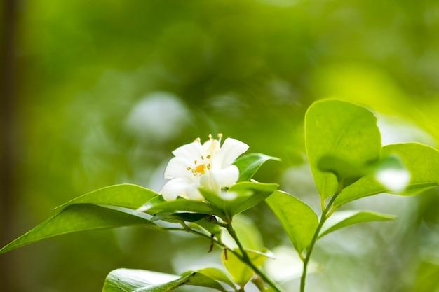 Flor de jasmim branco em um jardim