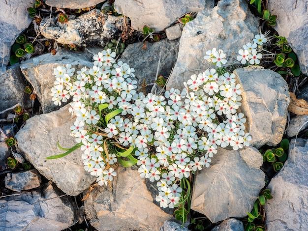 Flor de jasmim de rocha bonita. uma espécie de erva formadora de esteira. ela cresce nas montanhas de alta altitude. vista do topo.