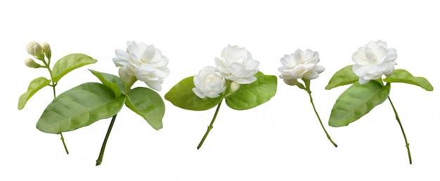 Flor de jasmim isolado