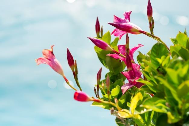 Flor de jasmim rosa sobre a natureza azul