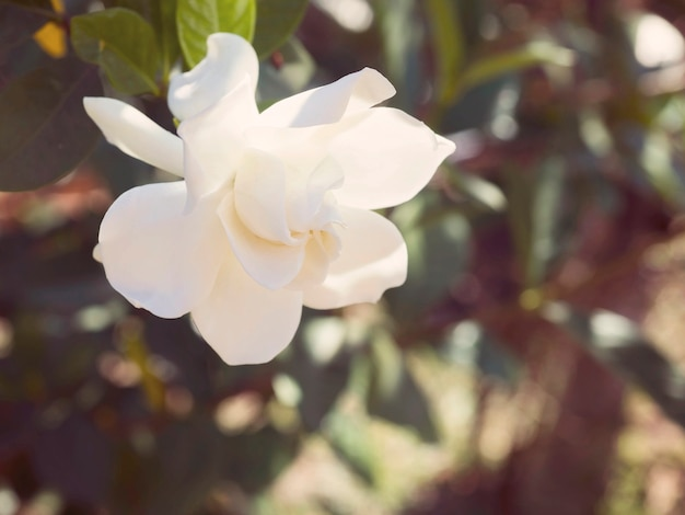 Flor de jasminoides de gardênia, conhecida como flor de jasmim do cabo