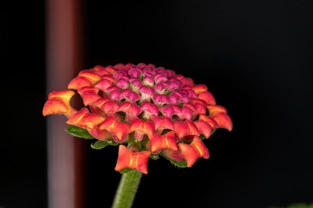 Flor de lantana comum da espécie lantana camara