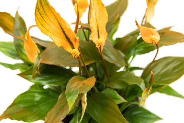 Flor de laranja spathiphyllum em uma panela leve