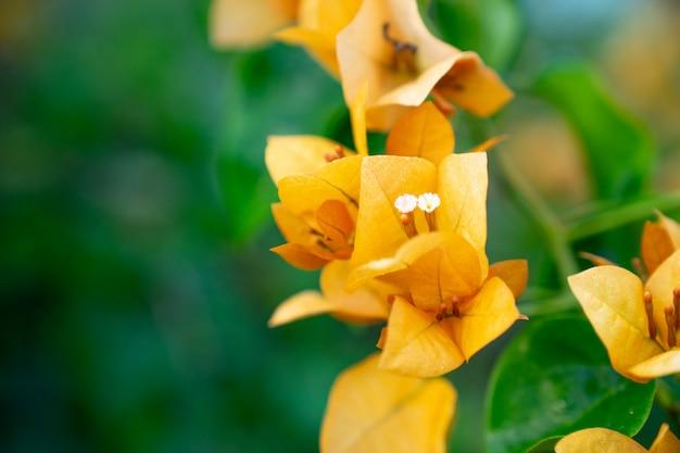 Flor de laranjeira bougainvillea florescendo ou paperflower em desfocar fundo verde