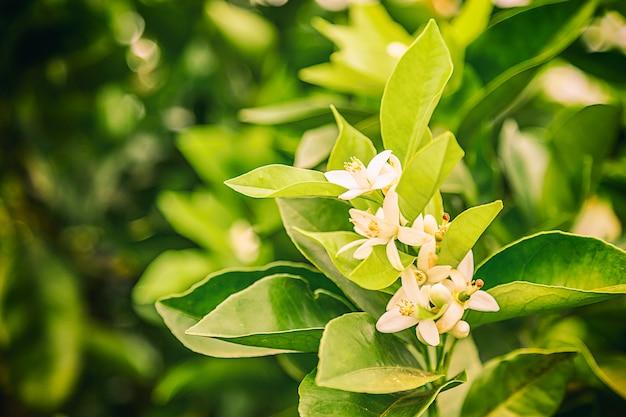 Flor de laranjeira no brasil no inverno em um dia nublado