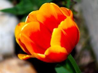 Flor de laranjeira, vívido