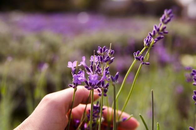 Flor de lavanda aromática e menina mão pegando de field.close up erva de lavanda
