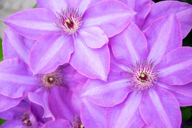 Flor de lavanda clematis. fundo roxo.