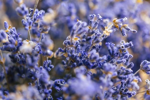 Flor de lavanda close-up