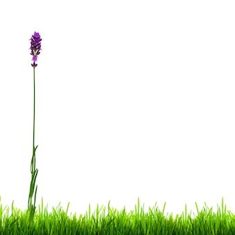 Flor de lavanda de verão e grama verde isolada em um fundo branco. flor cresce