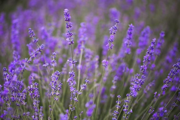 Flor de lavanda florescendo campos perfumados em filas intermináveis.