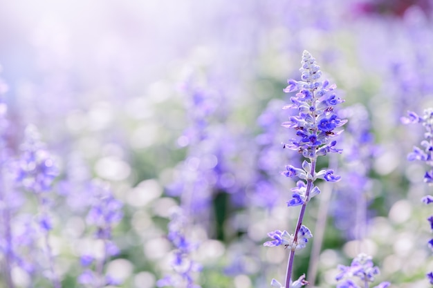 Flor de lavanda no jardim,