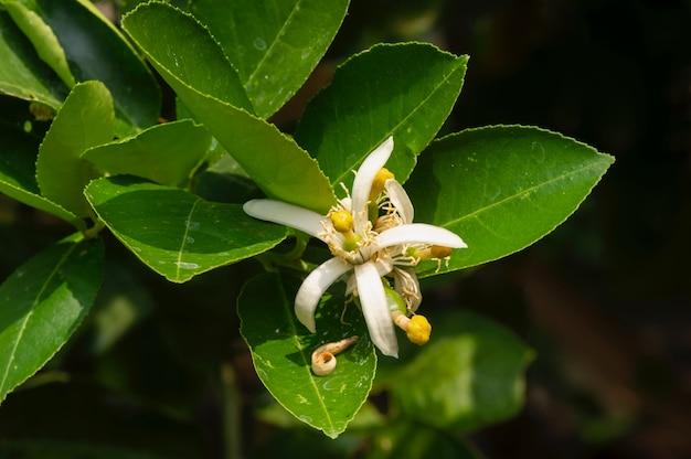 Flor de limão (citrus limon) e folhas verdes, em foco raso
