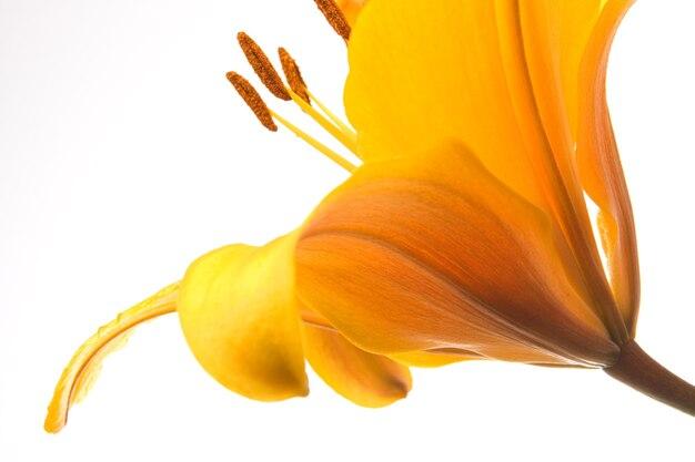 Flor de lírio amarelo em fundo branco