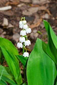 Flor de lírio branco da primavera do vale com folhas verdes em uma folhagem seca