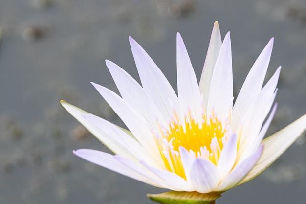 Flor de lírio de água bonita na lagoa
