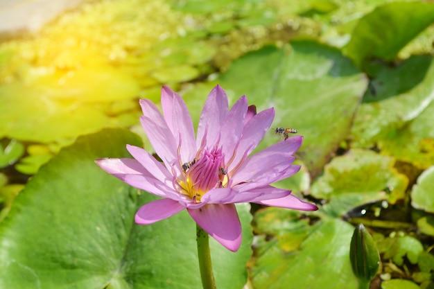 Flor de lírio de água-de-rosa e roxo com as abelhas no sol