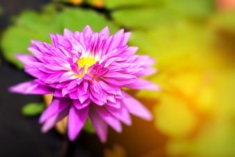 Flor de lírio de água-de-rosa na lagoa de manhã