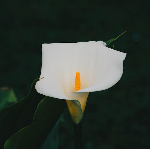 Flor de lírio de calla