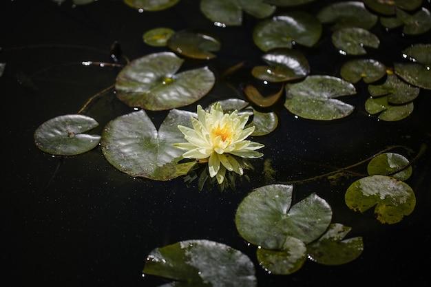 Flor de lírio de lagoa