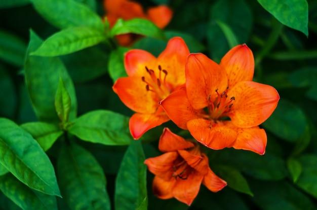 Flor de lírio de tigre isolado