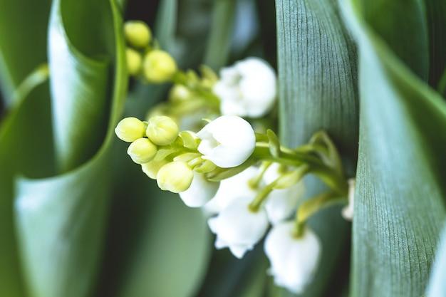 Flor de lírio do vale. convallaria majalis. flor de sinos brancos.